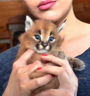 Serval et Savannah, chatons caracal et ocelot disponibles